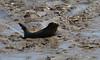 IMG_5929 cr (janharper) Tags: seals crouch roach estuaries leigh camera club