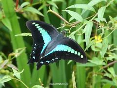 DSC07684 Common Blue Bottle (Graphium sarpedon) (vlupadya) Tags: greatnature animal butterfly fauna lepidoptera common bluebottle graphium kundapura karnataka