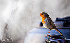 ROBIN 23 (Nigel Bewley) Tags: robin erithacusrubecula garden backyard ealing london england uk w5 wildlife naturalhistory greatoutdoors wildlifephotography endangeredwildlife bird birds avian birdlife distinguishedbirds birdwatcher creativephotography artphotography unlimitedphotos march march2018 nigelbewley photologo winterwatch rspb winter springwatch bto amateurphotographer