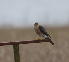 Sparrowhawk from the main hide