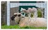 A Ouessant, il y a aussi les moutons ... de moins en moins noirs ! (C. OTTIE et J-Y KERMORVANT) Tags: nature animaux mammifères moutons ouessant finistère bretagne france