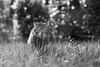 Tigerwalk (Black&Light Streetphotographie) Tags: monochrome mono urban park garden garten nahaufnahme nature natur fullframe vollformat city closeup trier tiefenschärfe wow sony streetshots streets streetshooting schwarzweis streetportrait street sw streetphotographie sonya7rii blackandwhite blackwhite bw bokeh bokehlicious cat katze tier availablelight animals