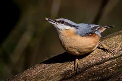 Feeding Nuthatch (neil 36) Tags: nuthatch feeding seed beautiful colours tree bird passerine
