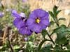 2018.03.03 - purple nightshade (JBYoder) Tags: angiosperm california dicot flora malibu nightshade purplenightshade solanaceae solanumpseudocapsicum solanumxanti leocarillostatepark