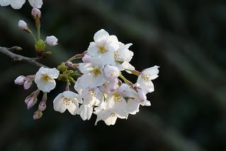 桜_5/ Sakura (Cherry blossoms)