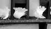 DSC_3616 Taubenschlag mit weißen Pfauentauben auf der Wartburg in Eisenach (stadt + land) Tags: bilder stadt eisenach bundesland thüringen deutschland lutherstadt wartburg unescoweltkulturerbe martin luther martinluther testament übersetzung stadtrundgang stadtportrait sehenswürdigkeiten tourismus unesco weltkulturerbe taubenschlag weise pfauentauben