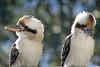 Kookaburras (iansand) Tags: kookaburra laughingkookaburra birds dacelonovaeguineae