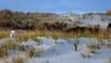 snowy owl on dune (primemundo) Tags: snowyowl snowowl owl dunes dune sand islandbeachstatepark nj newjersey dunegrass