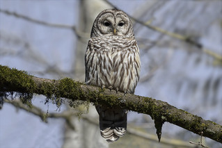 Barred Owl / Chouette rayée