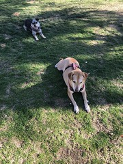 2018-02-18 PS Dog Park (105) (MadeIn1953) Tags: 2018 201802 20180218 annie snickers california riversidecounty palmsprings dogpark