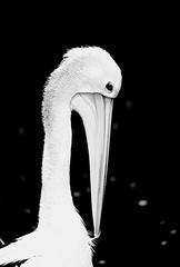 AUSTRALIA PELICAN BLACK AND WHITE (patrick555666751 THANKS FOR 4 000 000 VIEWS) Tags: australiapelicanblackandwhite australia pelican black and white close up macro australie oceanie cairns queensland animaux animal animales animali oiseau oiseaux bird birds aves pelicans noir et blanc i negre schwarz und weiss bianco e nero preto branco blanco y negro