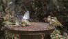 white-naped honeyeater (Melithreptus lunatus) and silvereye  (Zosterops lateralis) -4115 (rawshorty) Tags: rawshorty birds canberra australia act symonston