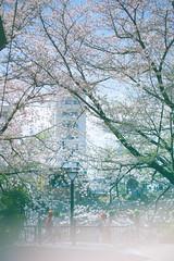 (blues3star) Tags: sony α7ii laea3 tamron sp 70200mm f28 di usd a009s 桜 sakura