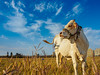 P3240073_Magong (Mark thanks for 1,500,000+ views) Tags: 馬公市 臺灣省 台灣 tw animal cow