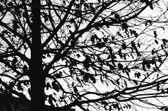 Fallen Spring (Mimi & Oly) Tags: minolta minoltasrt303b minoltasrt202 srt303b srt202 ilford panf ilfordpanf ilfordpanf50 film filmcamera filmphotography filmphoto argentique photographieargentique photoargentique photo photographie photography black white blackandwhite noiretblanc bw blackwhite noir blanc blackandwhitephotography photographienoiretblanc blackandwhitefilm pellicule pelliculenoiretblanc street streetphotography rue photoderue tree trees arbre abres