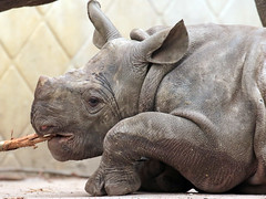 black Rhino Mara Blijdorp BB2A8238 (j.a.kok) Tags: neushoorn rhino rhinoceros animal africa afrika zwarteneushoorn blackrhinoceros blackrhino puntlipneushoorn mara naima mammal zoogdier dier herbivore blijdorp