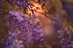 Epitaph (Ifigeneia Vasileiadis) Tags: easter wisteria blossoms flora flowers spring sunset helios40285mm vintagelens zenit