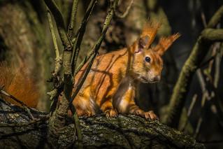 Eichhörnchen...endlich wird es Frühling !