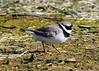 Little Ringed Plover (gillybooze) Tags: teleconverter14 ©allrightsreserved bird littleringedplover birdwatcher grass mud wader dof outside 600mmf4 bokeh wildlife frampton marsh