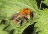 Common Carder Bee - Bombus pascuorum (Prank F) Tags: woodwaltonfen greatfen wildlifetrust huntingdonuk nature wildlife insect macro closeup bee common carder bombuspascuorum