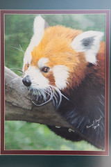 'Red Panda' by Elaine J. Hoogeboom ($375) (mfbrehab) Tags: maryfreebed maryfreebedrehabilitationhospital guild art artshow exhibition 36 36th annual fine arts maryfreebedartexhibition grandrapids michigan 2018 patient patients show