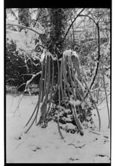 P61-2018-006 (lianefinch) Tags: argentique argentic analogique analog monochrome blackandwhite blackwhite bw noirblanc noiretblanc nb nature neige snow winter hiver white blanc noir garden jardin tuyaux pipe