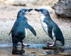 Little Blue Penguins (Kiwi-Steve) Tags: littlebluepenguins penguin nature nz newzealand hawkesbay nikon nikond7200 pair