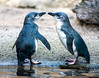 Little Blue Penguins (Kiwi-Steve) Tags: littlebluepenguins penguin nature nz newzealand hawkesbay nikon nikond7200 pair