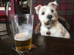 "Having A Drink (37190 ""Dalzell"") Tags: westhighland terrier dalzell enjoyingdrinks wigancentral"