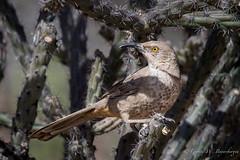 Curve-billed Thrasher (Turk Images) Tags: curvebilledthrasher sonoradesert toxostomacurvirostre arizona birds cbth desert mimidae tucson winter