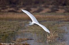 Airone bianco maggiore _011 (Rolando CRINITI) Tags: airone aironebiancomaggiore uccelli uccello birds ornitologia racconigi natura