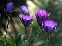 la chiusura della sera (fotomie2009) Tags: osteospermum african daisy blueeyed margherita flower fiore flora pink roma aprile 2018