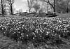 Early Spring Scene (Joe Josephs: 3,166,284 views - thank you) Tags: centralpark landscape nyc newyorkcity travel travelphotography city citypark cityscape outdoors park urbamexploration urban urbanparks flowers spring springflowers seasons daylight daytime naturallight bw monochrome blackandwhite blackandwhitephotography
