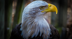 majestic (ttounces) Tags: freedom bald eagle bird majestic symbol 1001nightsmagicpeacock eye art ttounces ~jan~