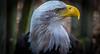 majestic symbol (ttounces) Tags: freedom bald eagle bird majestic symbol 1001nightsmagicpeacock eye art ttounces ~jan~