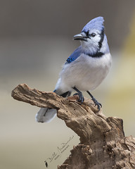 Blue Jay (Bill McDonald 2016) Tags: blue jay canon perched perch winter 2018 crow log 5d canada ontario cambridge