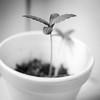 Autocultivo pequeña planta cannabis 04 (Cannabis y Salud) Tags: cannabismedicinal cannabisysalud crecimiento endocannabinologia growth pequeña planta small terapeuticacannabica argentina autocultivo bahiablanca marihuana marijuana plant bahíablanca buenosaires ar
