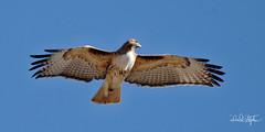 Hawk Looks Over It's Shoulder (dcstep) Tags: bird sonya7riii fe100400mmf4556gmoss fe14xteleconverter handheld cherrycreekstatepark colorado usa allrightsreserved copyright2018davidcstephens dxophotolab a7r1644dxo hawk raptor redtailhawk shoulder