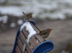 Lookouts (Alex Srdic) Tags: portsmouth southsea pyramids hampshire snow birds bird nikon nikond3400 robin