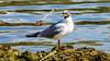 LA MOUETTE RIEUSE - Chroicocephalus ridibundus-Black headed Gull. (alainfranchi852) Tags: mouette oiseau lac étang laridae