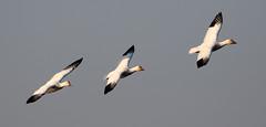Three Snow Geese BIF...6O3A0569A (dklaughman) Tags: bif snowgeese geese chincoteagueislandnwr virginia