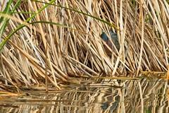 Green Heron (christopheradler) Tags: california green heron butorides virescens