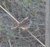 DSC_0384 (tracie7779) Tags: ranchopalosverdes terranearesort whitecrownedsparrow