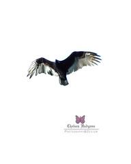 (chelseahudgens1) Tags: birds birdofprey birdsofafeather wildlife photography photographer rebelgirl canonrebelt6 artistjobneverdone photographyisarttoo