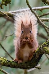 Red Squirrel (richardelliot) Tags: tree eating nut squirrel redsquirrel trees caught nikon nikond500 nikon200500 animal richard elliot