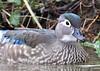 American Wood Duck (gillybooze) Tags: ©allrightsreserved bird woodduck birdwatcher duck water river plants feathers wildlife bokeh wild waterfowl 600mmf4