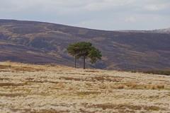 Three trees (Blue Pelican) Tags: trees moors hills glossop derbyshire april highpeak