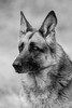Grace ([rk photography // smudgeblox]) Tags: old lady dog gsd german shepherd portrait alsatian black white