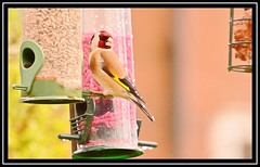 """Goldfinch..."" (NikonShutterBug1) Tags: nikond7100 tamron18400mm birds ornithology wildlife nature spe smartphotoeditor birdfeedingstation bokeh birdsfeeding goldfinch windwednesday"
