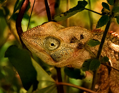 Chameleon (Rod Waddington) Tags: africa afrique african madagascar malagasy chameleon wild animal wildlife nature outdoor forest landscape portrait